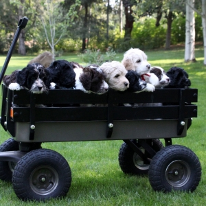 ELLIE PUPS 7 WEEKS IN WAGON CLOSE UP IN THE BIG YARD 8.15.15