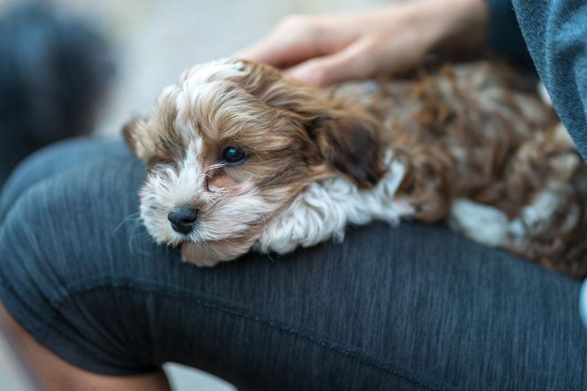 Australian Labradoodle Puppies for Sale in Spokane, WA